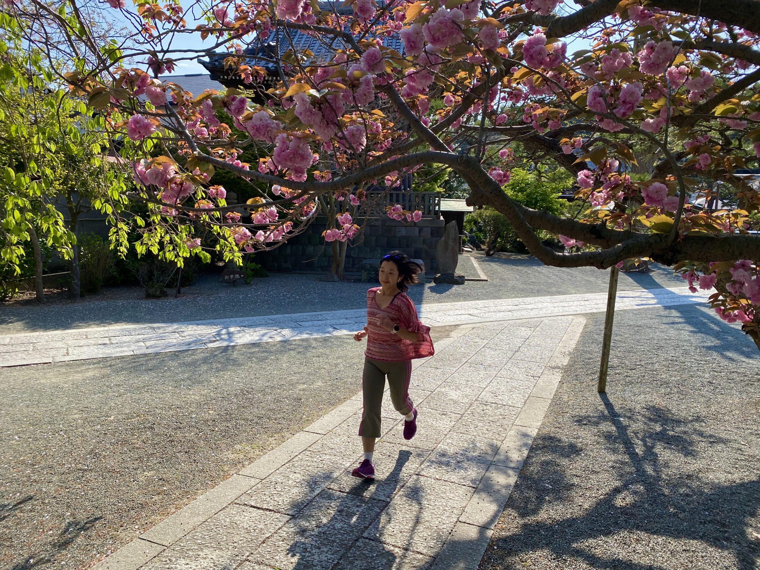 八重桜の本覚寺へお花見ラン