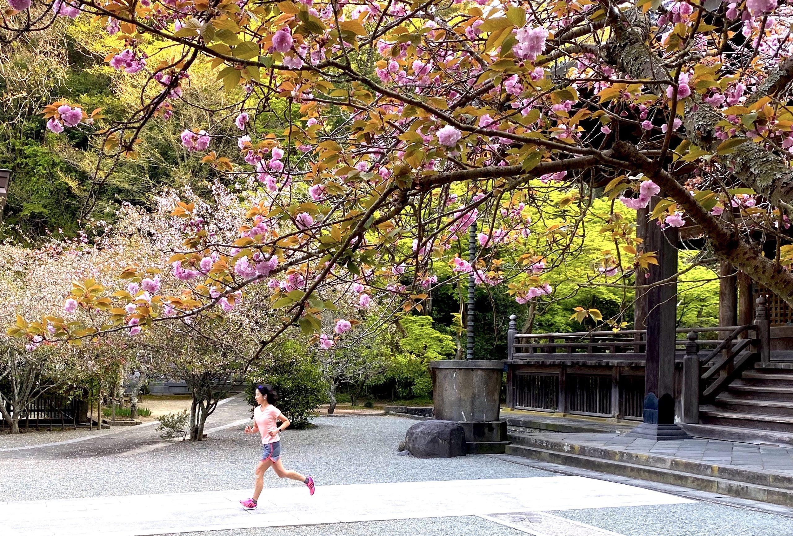 妙本寺でお花見ラン