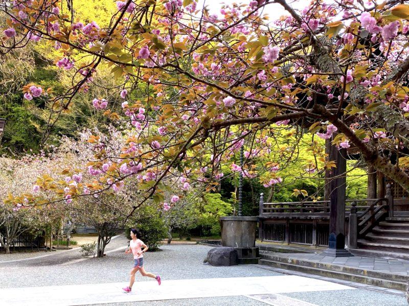4/9妙本寺の八重桜とラン