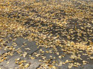 浄智寺の銀杏の落ち葉
