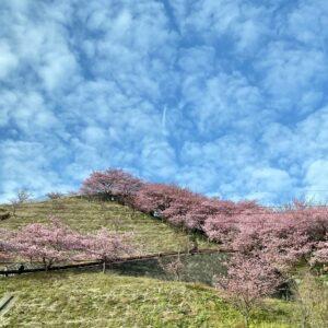 松田町辺りでは、河津桜
