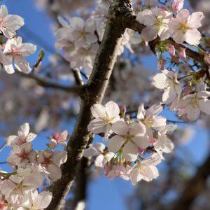 五所神社の桜🌸