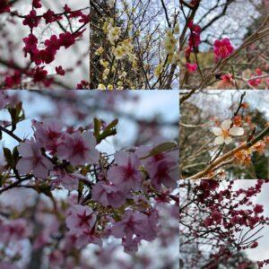 妙本寺の紅白の梅
