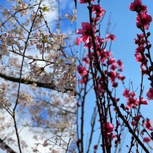 妙本寺の桜と近所の桜