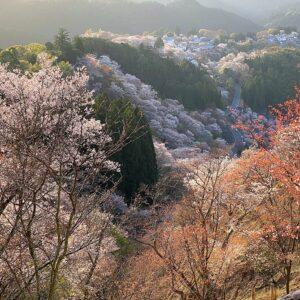 吉野の桜上千本