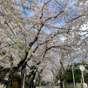 逗子ハイランドの桜