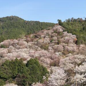 吉野の桜中千本