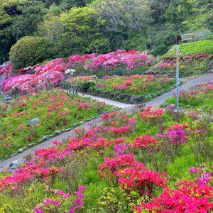 葉山花の木公園のツツジ3