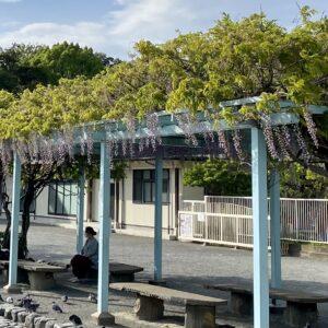 鶴岡八幡宮の藤棚