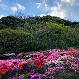 葉山花の木公園のツツジ4
