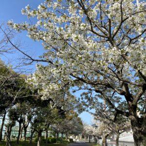 須磨海浜公園前の桜