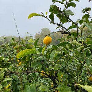 生口島のレモン