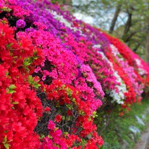 葉山花の木公園のツツジ2