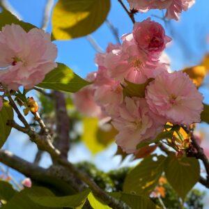 稲村ヶ崎海浜公園の八重桜