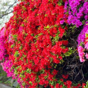 葉山花の木公園のツツジ1