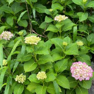 五所神社の紫陽花2