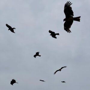 飛来するトンビ