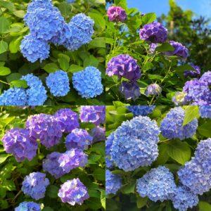 明月院の紫陽花3