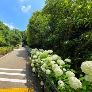 鎌倉歴史文化交流館の紫陽花5