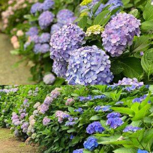 葛原岡神社の紫陽花