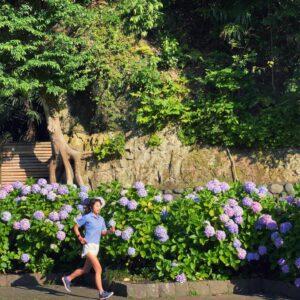 鶴岡八幡宮の紫陽花