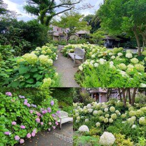 浄妙寺の紫陽花2
