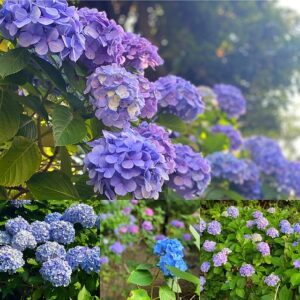 あじさい公園の紫陽花3