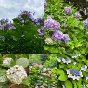 妙本寺の紫陽花2