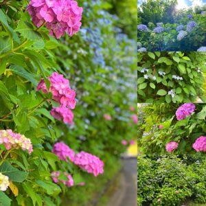 亀ヶ谷坂の紫陽花
