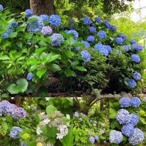 実相寺の紫陽花