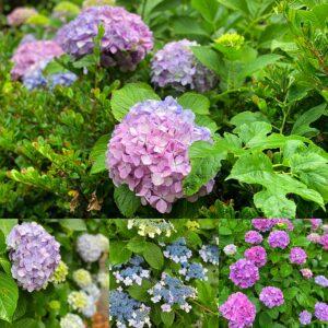 稲村ヶ崎の紫陽花