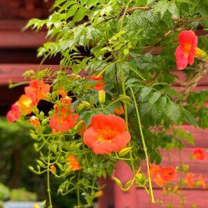 妙本寺のオレンジ色のノウゼンカズラ