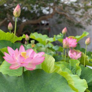 本覚寺の蓮の花
