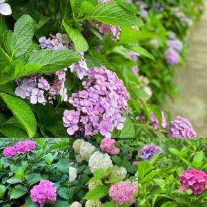 御霊神社線路脇の紫陽花