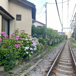 御霊神社の線路脇の紫陽花2