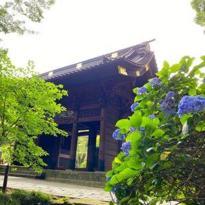 妙本寺のブルーの紫陽花