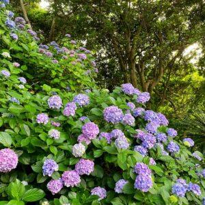 あじさい公園の紫陽花1