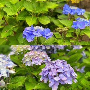 報国寺の紫陽花