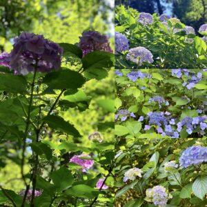 妙本寺の紫陽花1