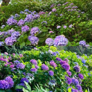 あじさい公園の紫陽花2