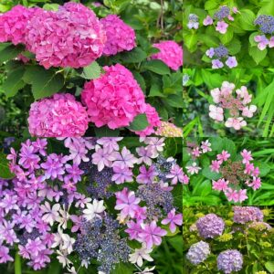 五所神社の紫陽花