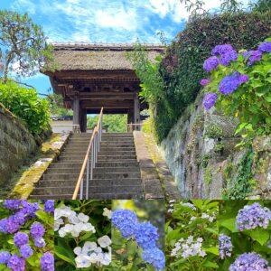 長寿寺の紫陽花