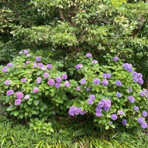 妙本寺の紫陽花3