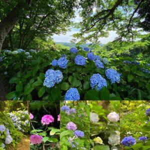 源氏山公園あじさいの小径の紫陽花