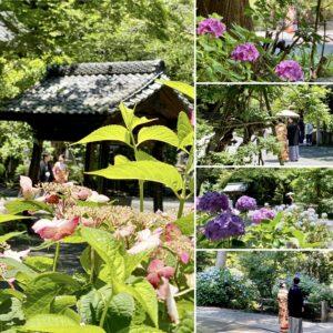 妙本寺の紫陽花4
