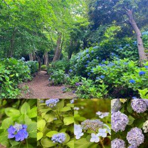 源氏山公園の紫陽花1
