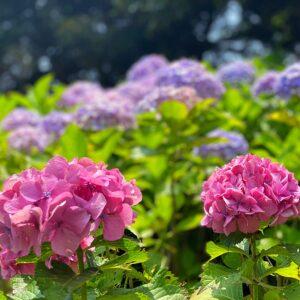 鎌倉歴史文化交流館の紫陽花4