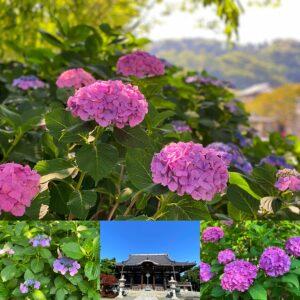 本覚寺の紫陽花