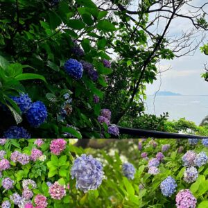 稲村ヶ崎公園の紫陽花