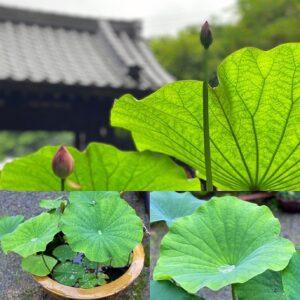 覚園寺の水蓮